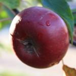 Höst i Varnhem - Äpplen
