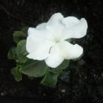 Första blomman