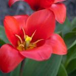 Påskafton 2009 - röd blomma 2