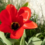 Påskafton 2009 - röd blomma