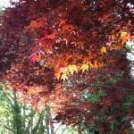 Japanese oak 2010-05-03