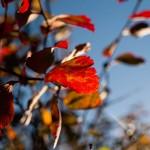 Små höstlöv röda
