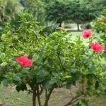 Hibiskusbuske