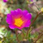 Färgglad blomma i Sakaes trädgård