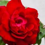 Ros, ntensivt röd