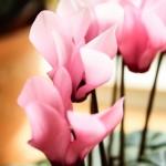 Små och rosa