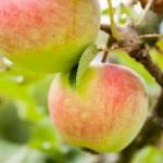 Äpplen på kvist