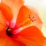 Färgstark Hibiskus