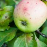 Äppelöga