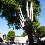 Stort träd vid Trg Petra Zoranića