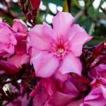 Magentafärgad blomma