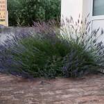 Lavendelbuske