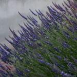 Lavendel närbild