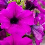 Magentafärgad blomma på Ugljan