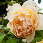 Pärsikofärgad blomma i Preko, Ugljan