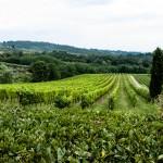 Utsikt över vinrankorna